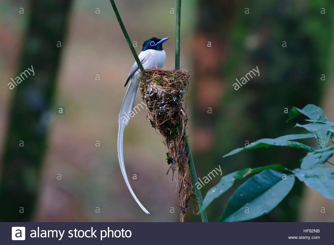 Asian paradise flycatcher Male white morph Bird nest Stock Photo
