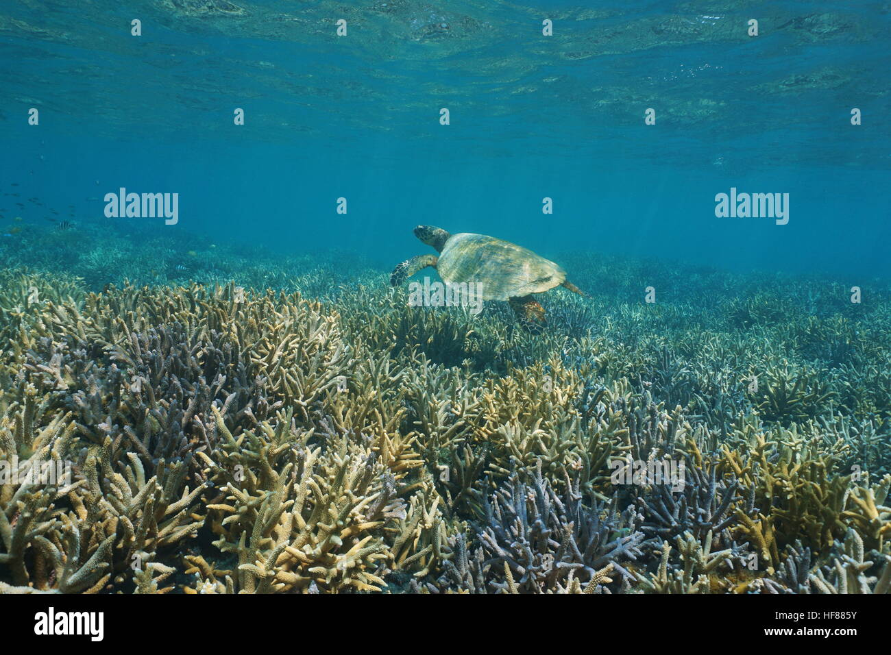 Healthy coral reef underwater with an hawksbill sea turtle above staghorn corals, south Pacific ocean, New Caledonia - Stock Image
