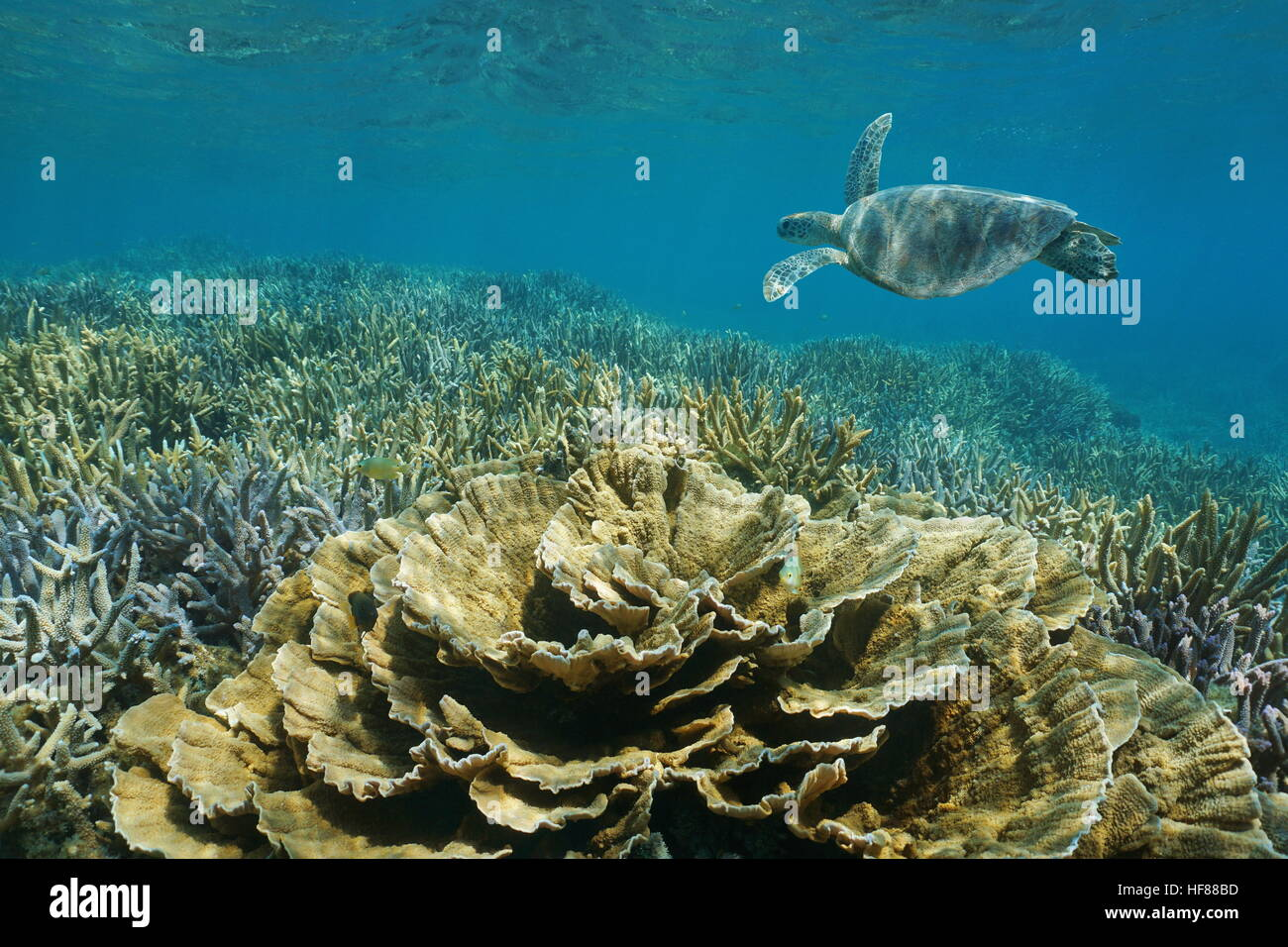Pacific ocean underwater shallow reef with a green sea turtle, leaf and staghorn corals , New Caledonia - Stock Image