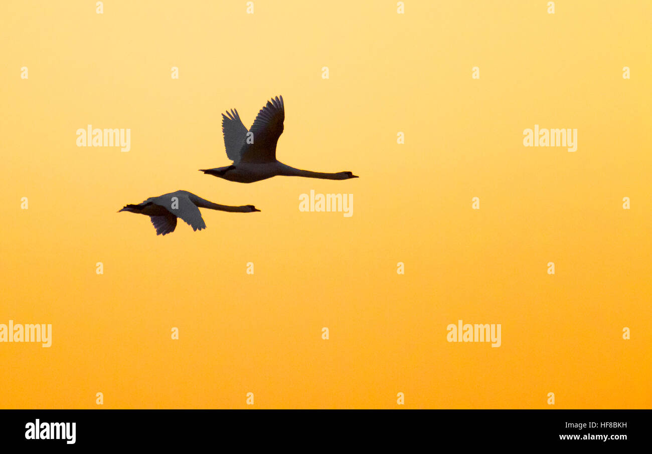 Southport, Merseyside, 28th Dec 2016. A pair of Swans soar into the warming sky over the RSPB nature reserve in - Stock Image