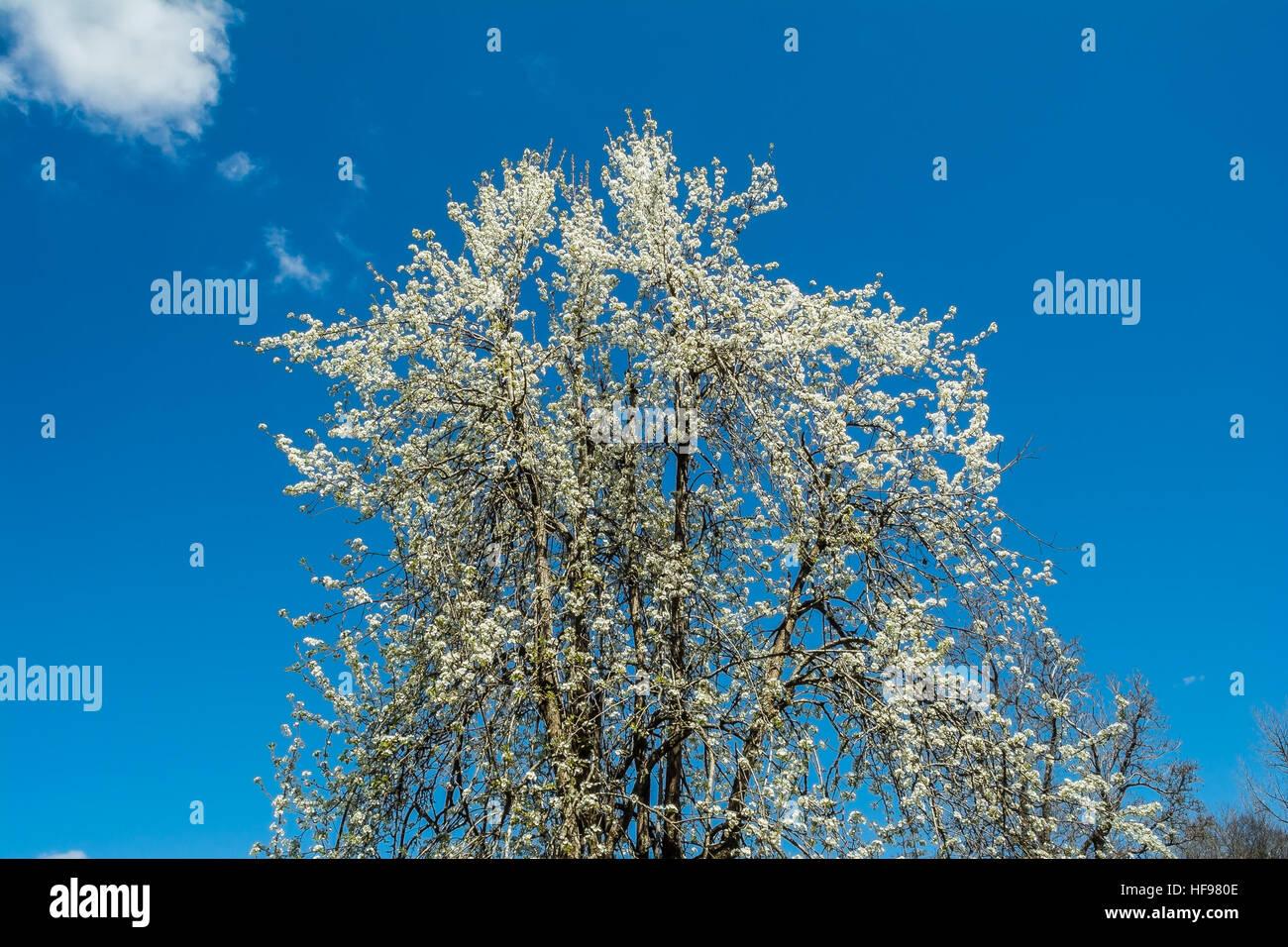 Fruit Tree Blossoms. - Stock Image