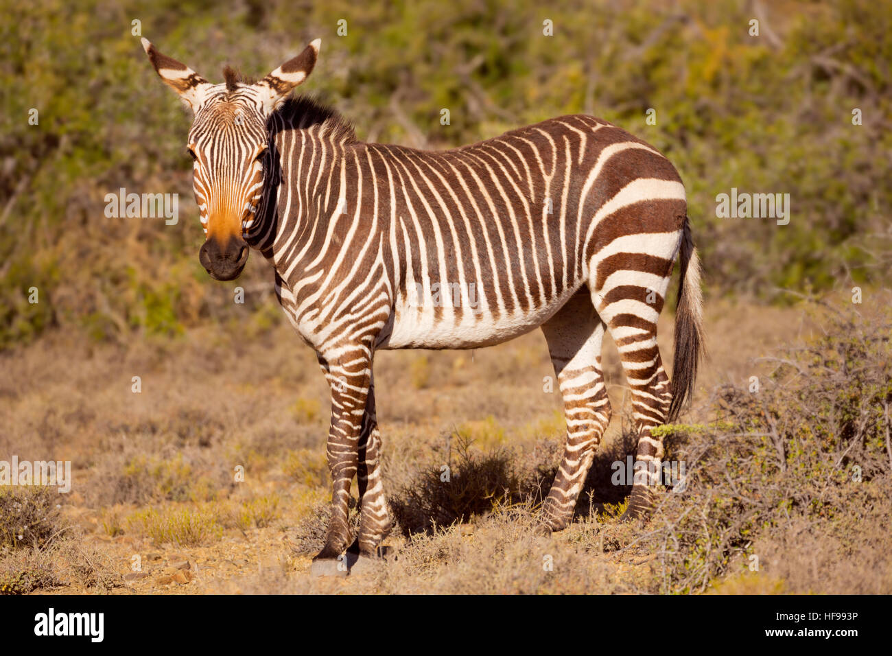 A Cape mountain zebra in Karoo National Park in South Africa. - Stock Image