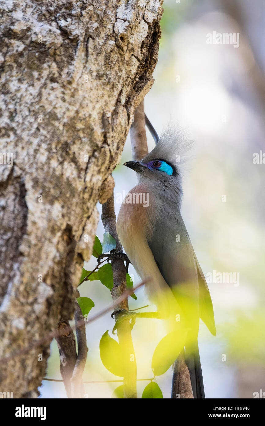 Crested coua (Coua cristata), very attractive Madagascar birds. Ankarafantsika National Park, Madagascar wildlife - Stock Image