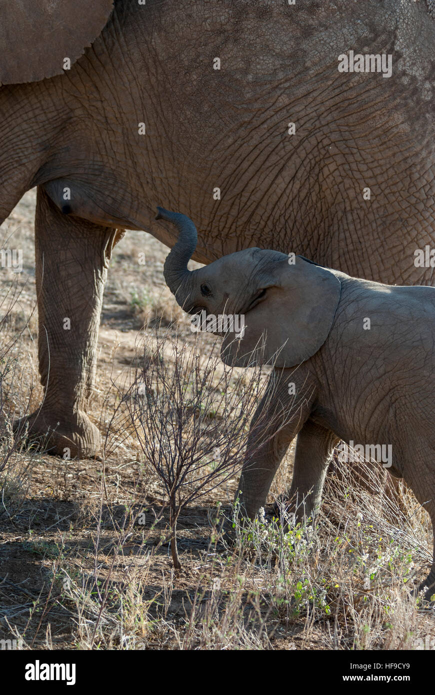 Baby Elephant by Mommy's Side - Stock Image