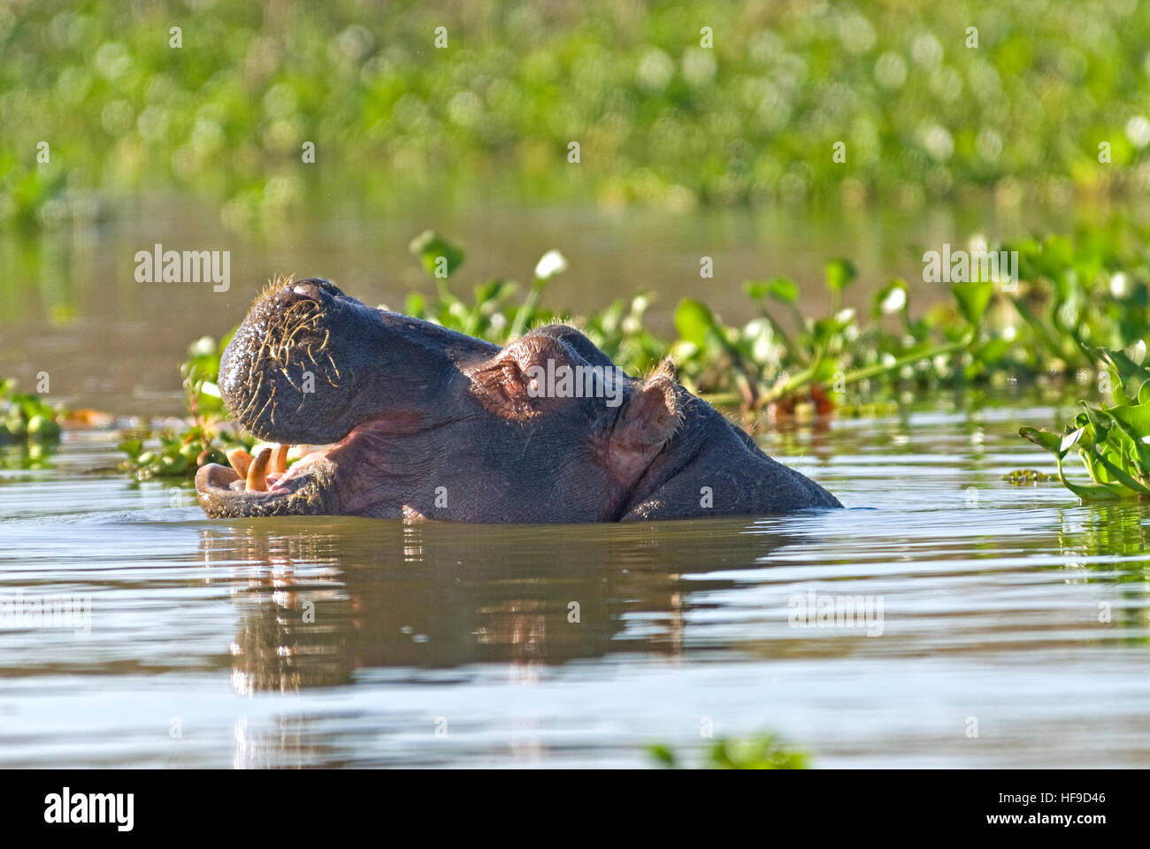 Open mouthed hippo - Stock Image