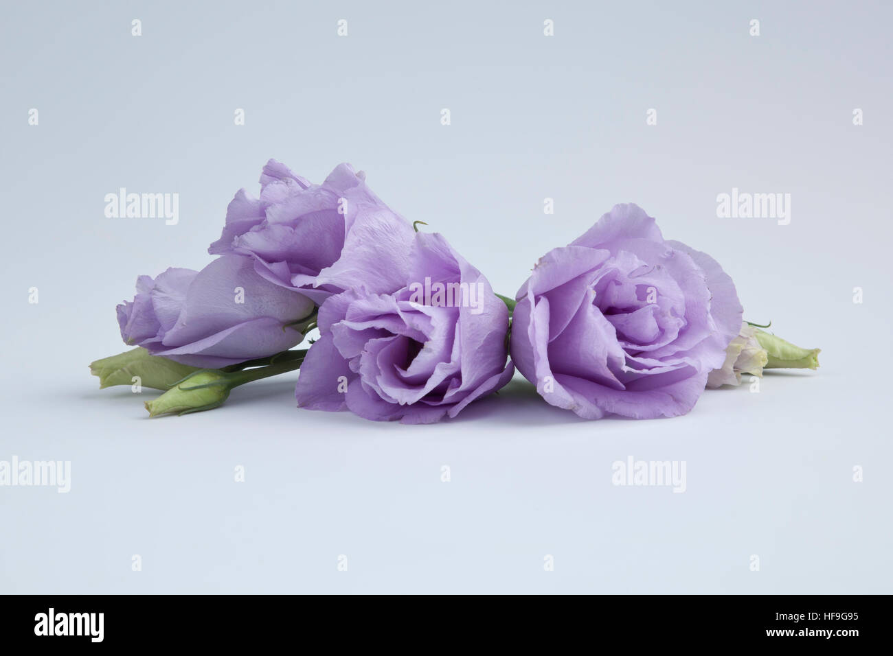 Prarie gentian flowers - Stock Image