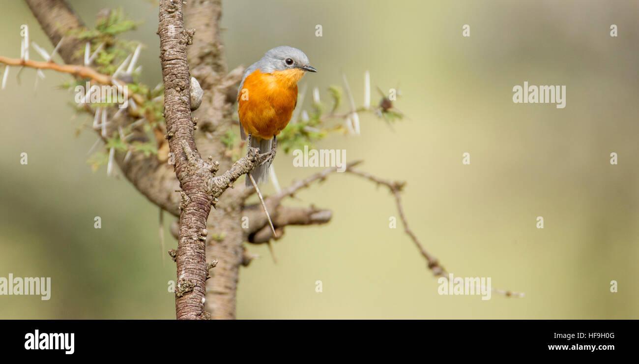 A Silverbird on an Acacia branch, Mara Naboisho Conservancy Kenya Africa - Stock Image