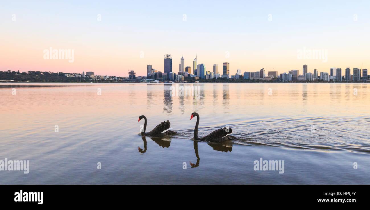 Black Swans (Cygnus atratus) on the Swan River, Western Australia - Stock Image