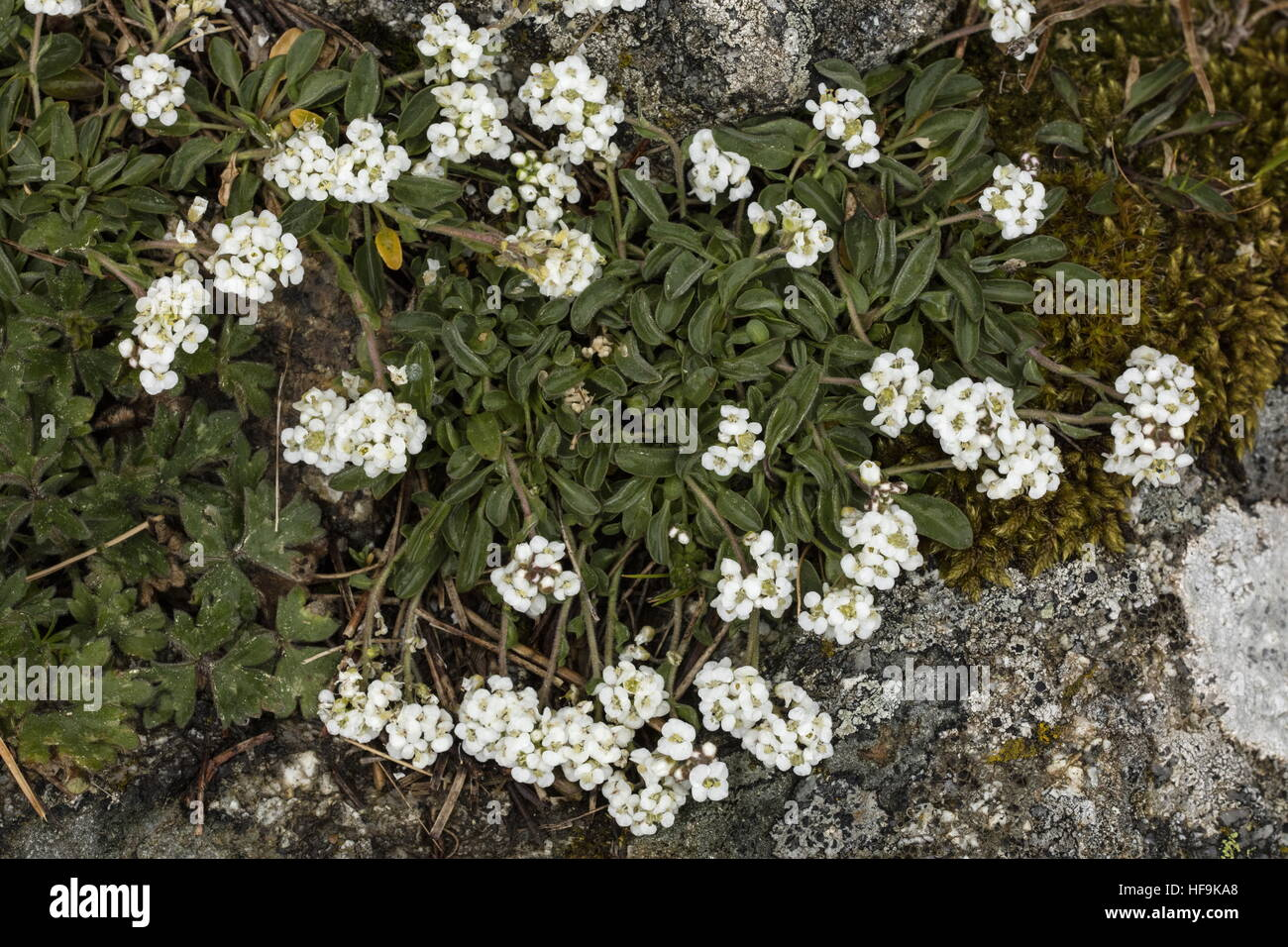 Lepidium hirtum ssp oxyotum in the mountains of Corsica. Endemic to Corsica and Crete. Stock Photo
