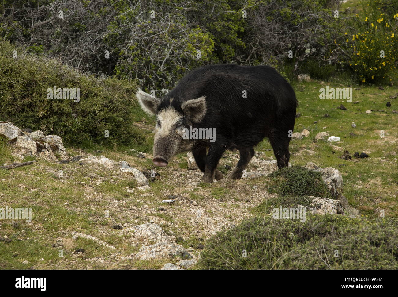 Free-range pig in the mountains of Corsica, above Bastelica. - Stock Image