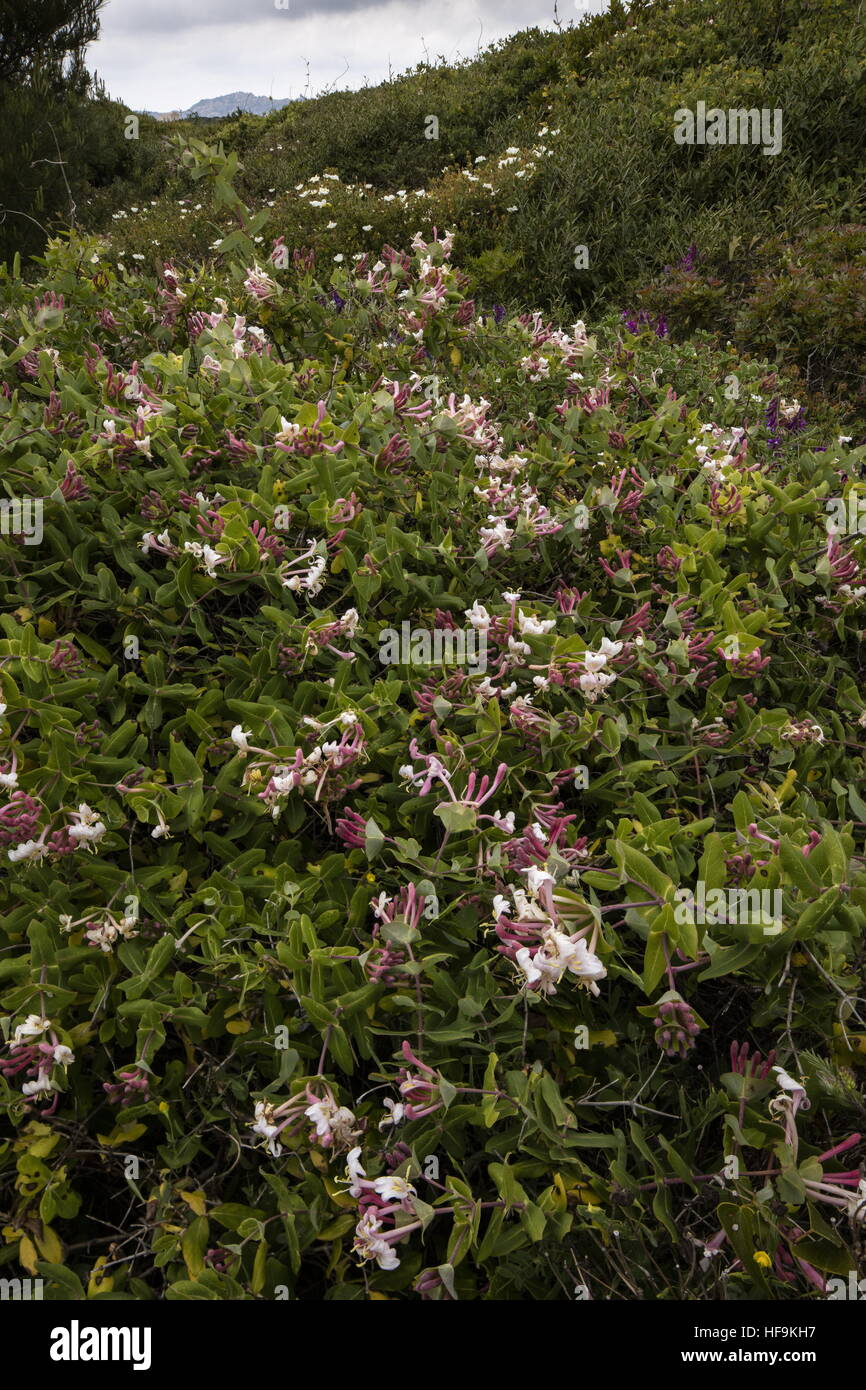 Dense low maquis/garrigue, with Lonicera implexa on the south-west coast of Corsica. - Stock Image
