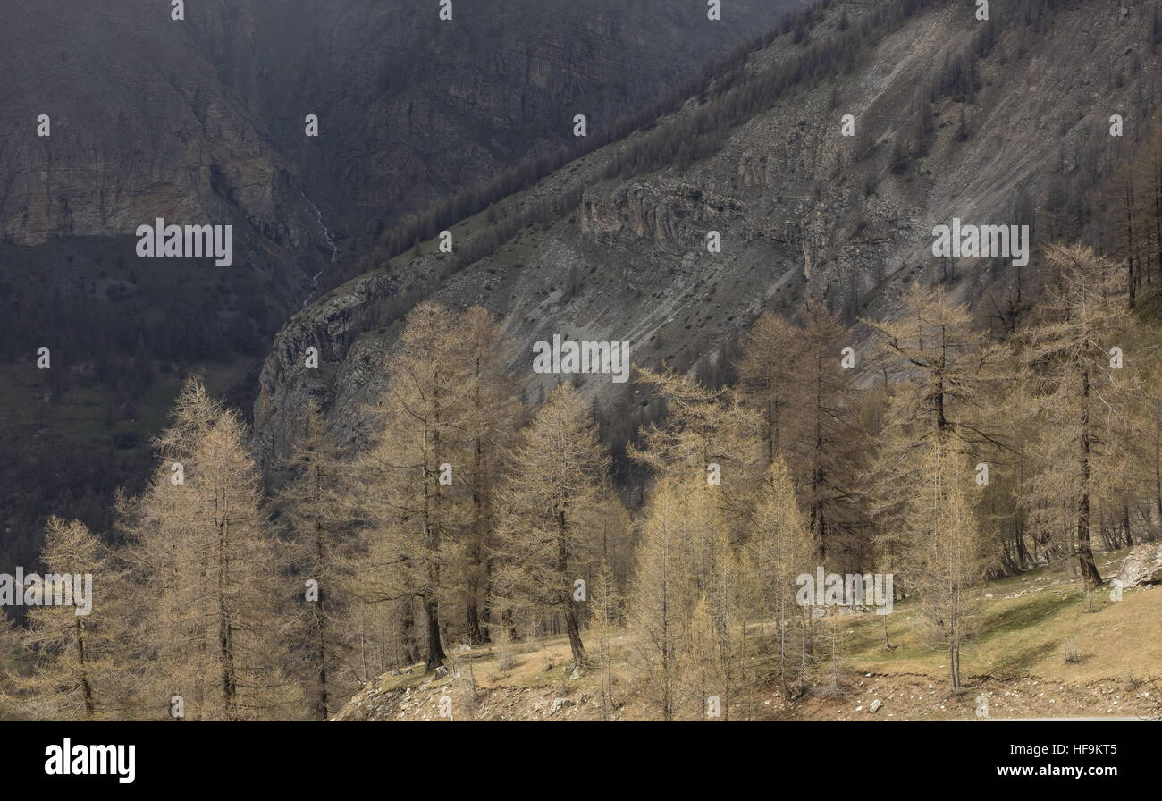 European larches in early spring, on the Col de Cayolle, Maritime Alps. - Stock Image