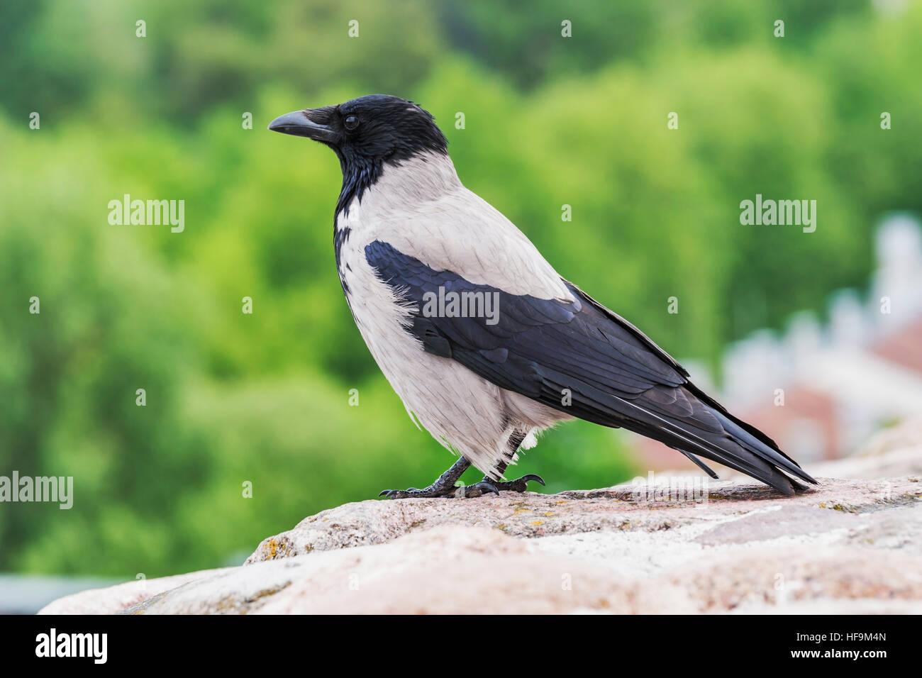 Closeup view of a dun crow, Corvus corone - Stock Image