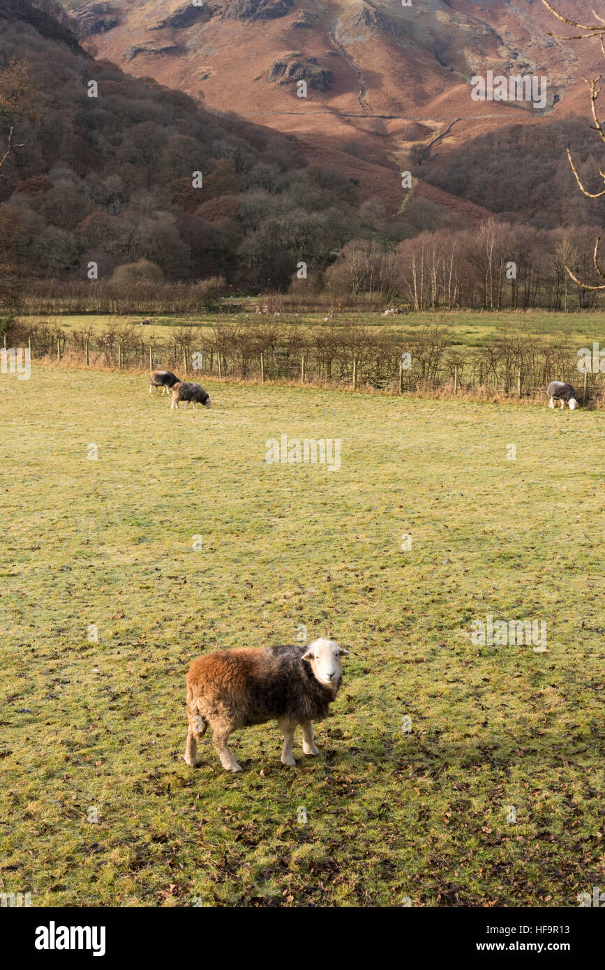 Herdwick sheep grazing on a meadow in Borrowdale the Lake District Cumbria UK in a winter landscape - Stock Image