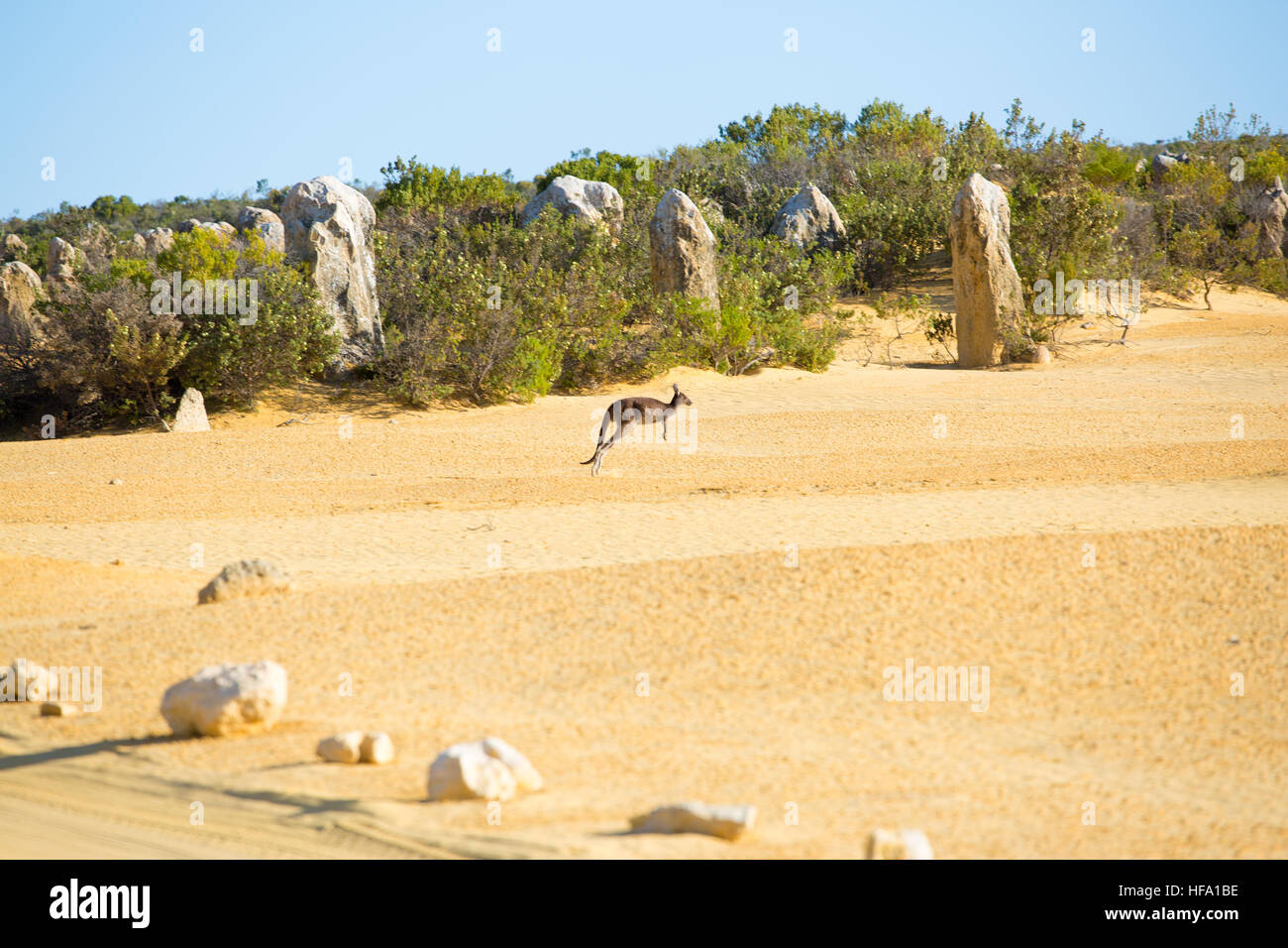 Kangaroo at the Pinnacles desert, Western Australia - Stock Image