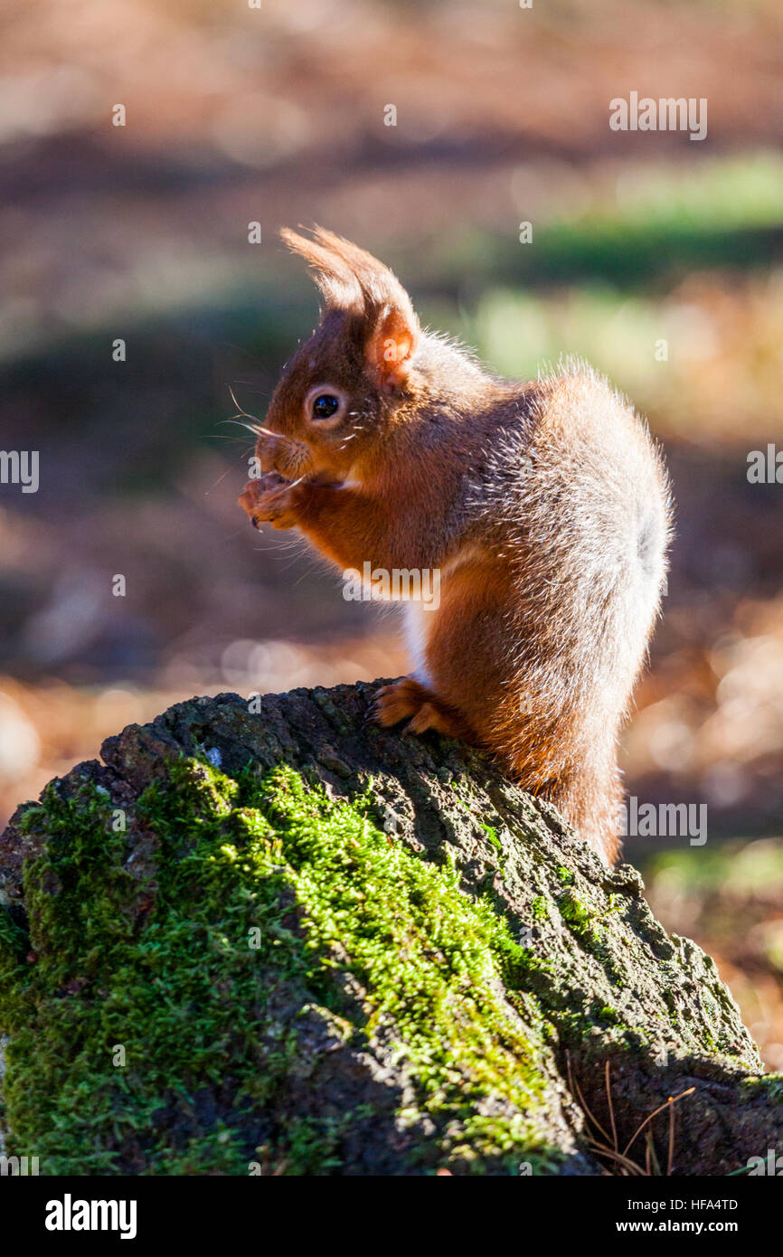 Young Red Squirrel sitting eating nuts with his red furl catching the sunlight in an English wood - Stock Image