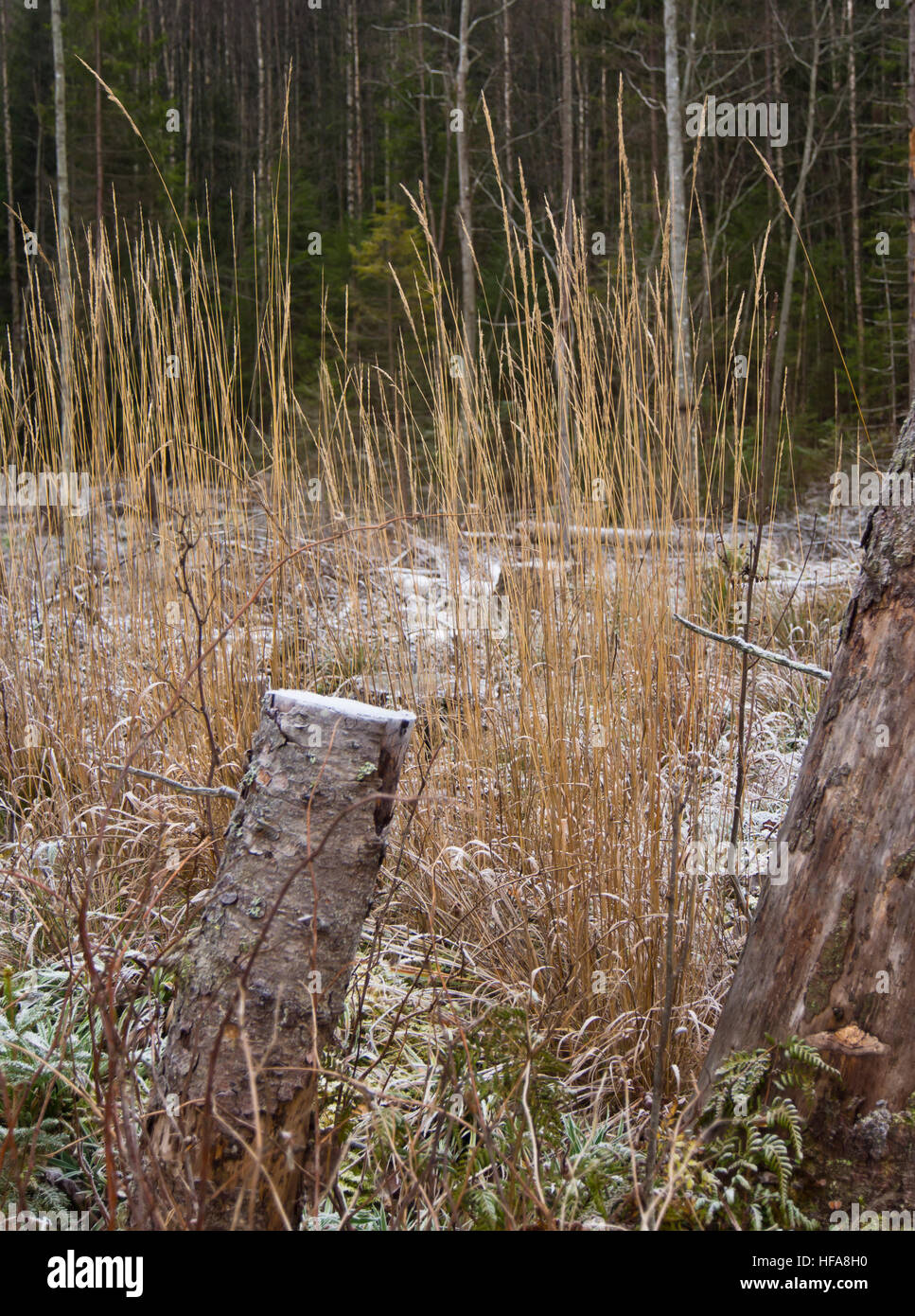 Natural vertical lines, dry grass straws, sawed off birch trunk, frosted field, dark tree trunks, Oslo Norway Stock Photo