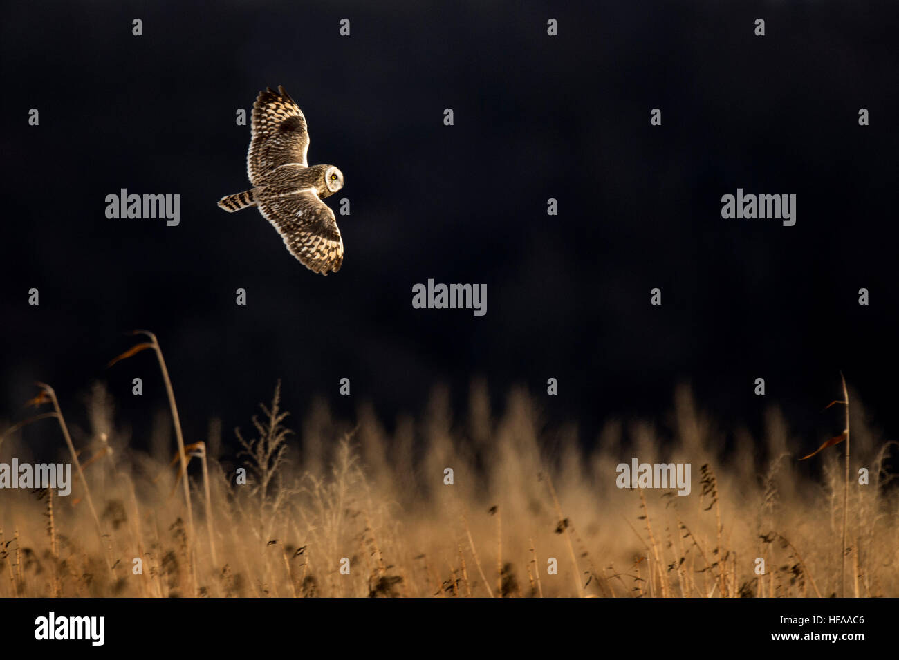 A Short-eared Owl flies just over a field of tall brown grass on a sunny evening against a black background. - Stock Image