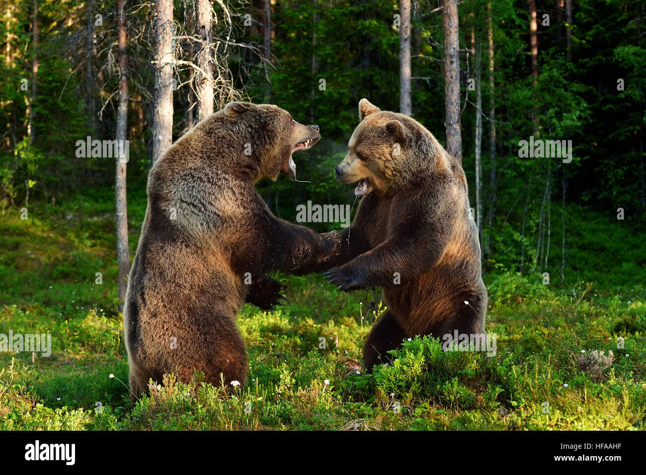 bear fight. bears fighting. animal fight. - Stock Image