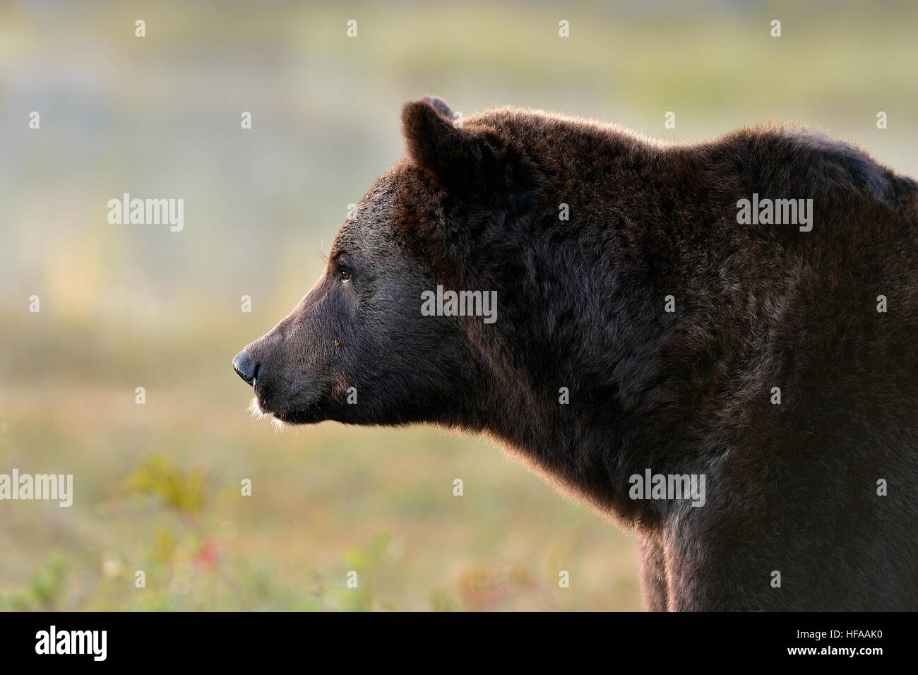 brown bear side view close up stock photos brown bear side view close up stock images alamy. Black Bedroom Furniture Sets. Home Design Ideas