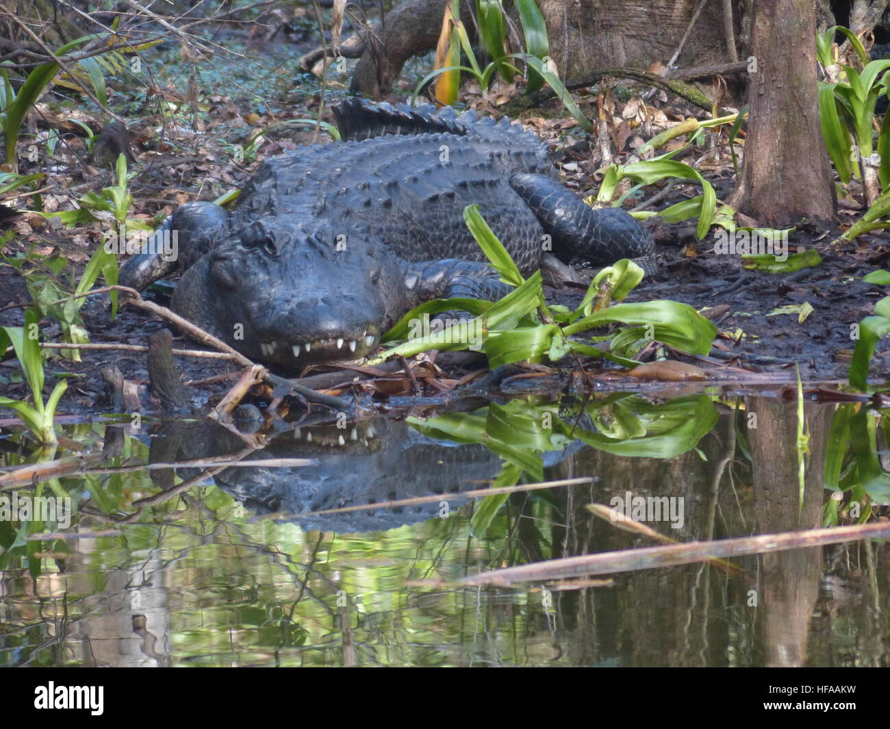 American alligator digesting in shade in Florida Everglades - Stock Image