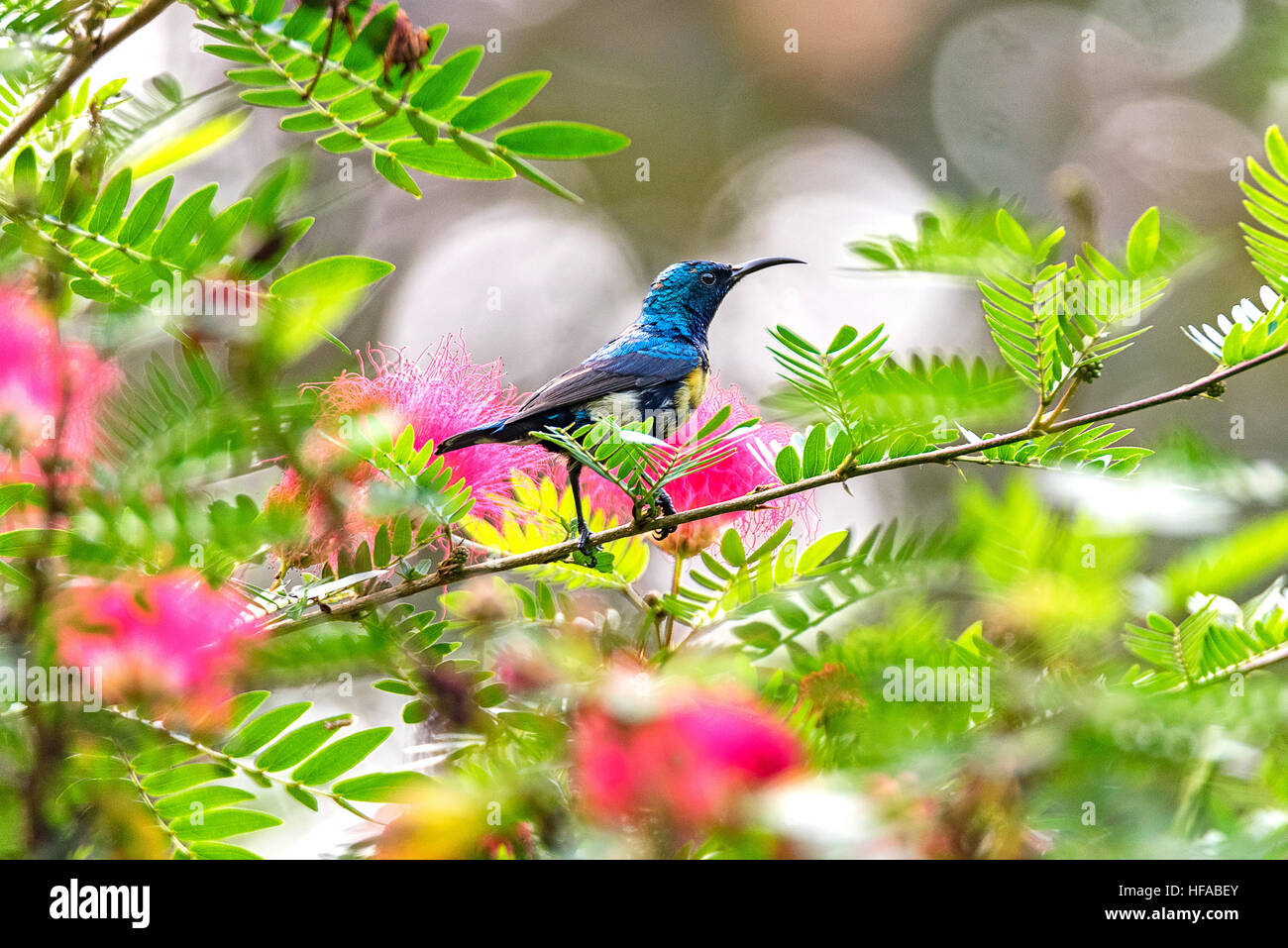 Colorful Sun-bird. - Stock Image