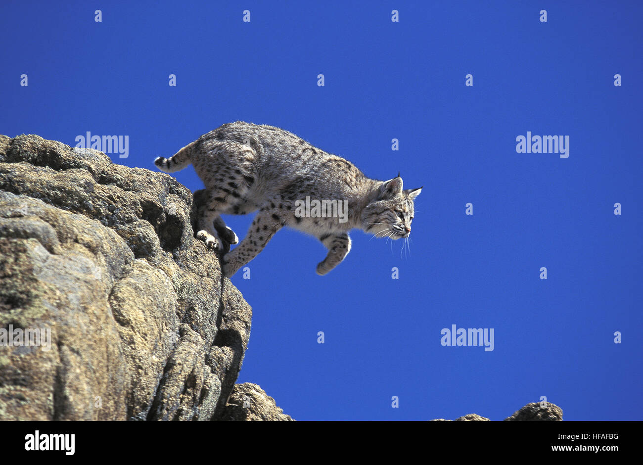 Bobcat,  lynx rufus, Adult leaping from  Rocks, Canada - Stock Image
