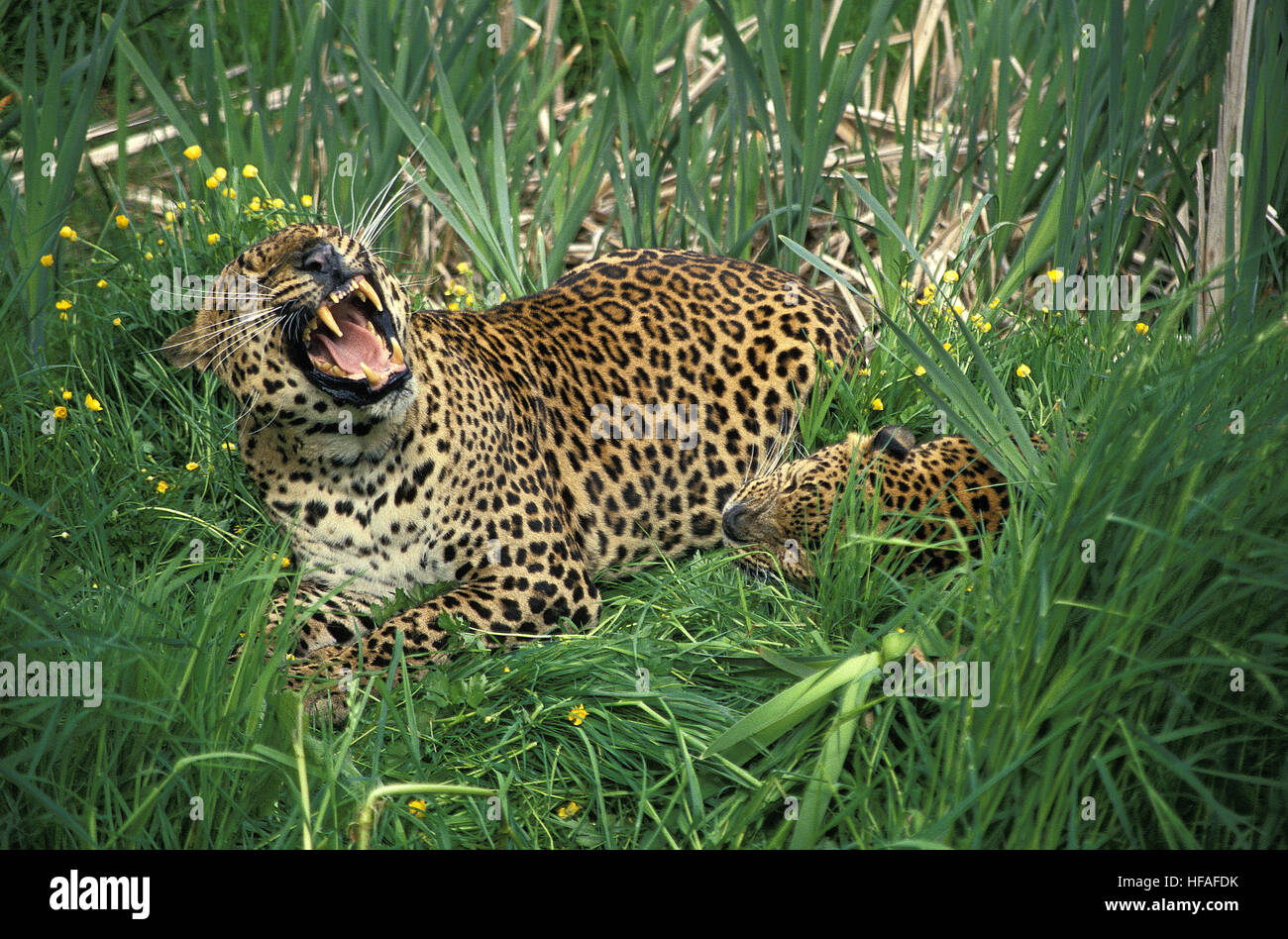 Leopard, panthera pardus, Adult snarling - Stock Image