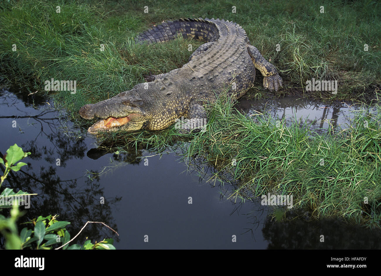 Australian Saltwater Crocodile or Estuarine Crocodile, crocodylus porosus, Adult with Open Mouth Regulating Body - Stock Image