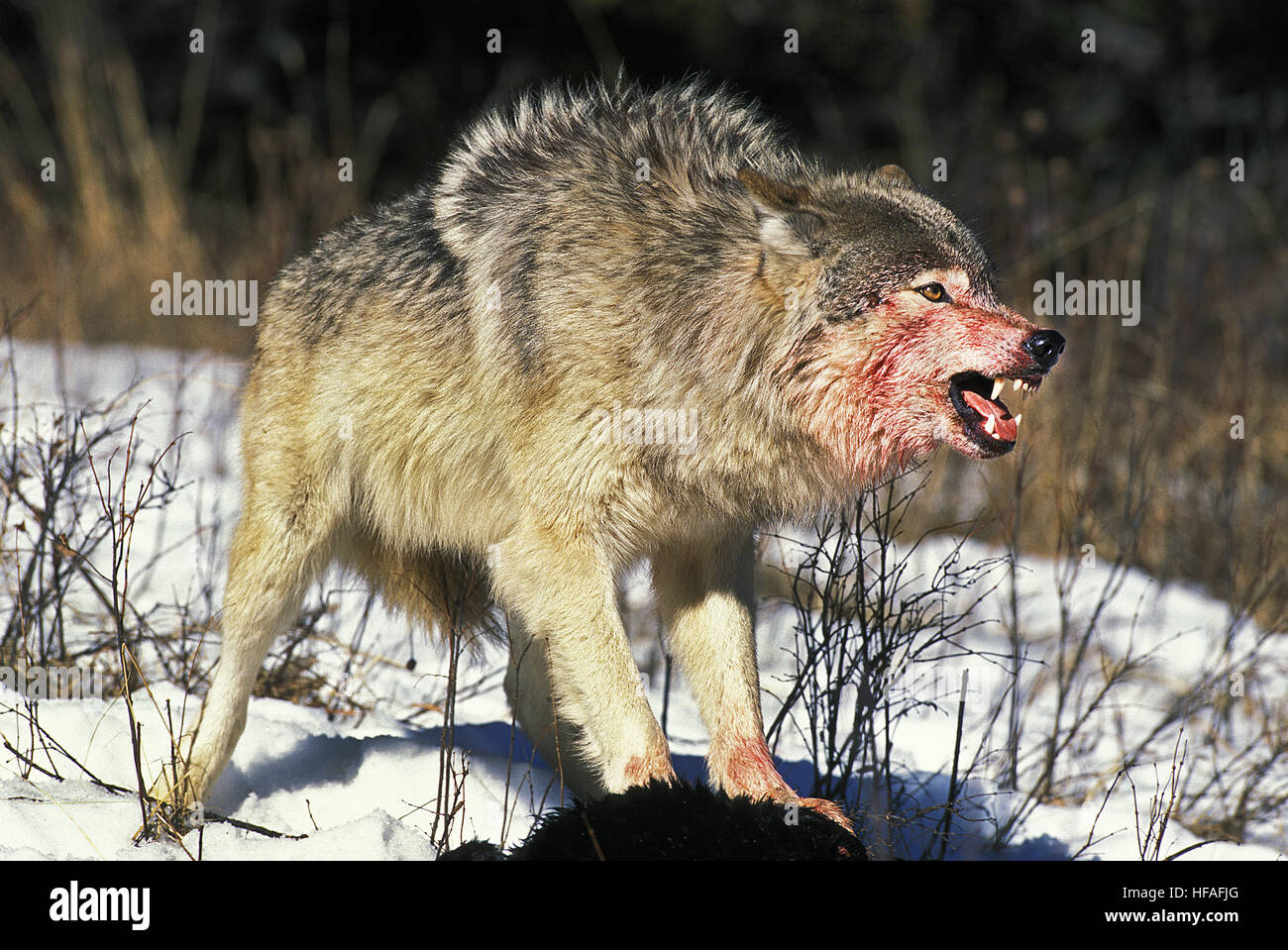 Image result for wolf with bloody mouth