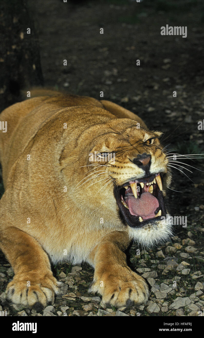 African Lion,  panthera leo, Female Snarling - Stock Image