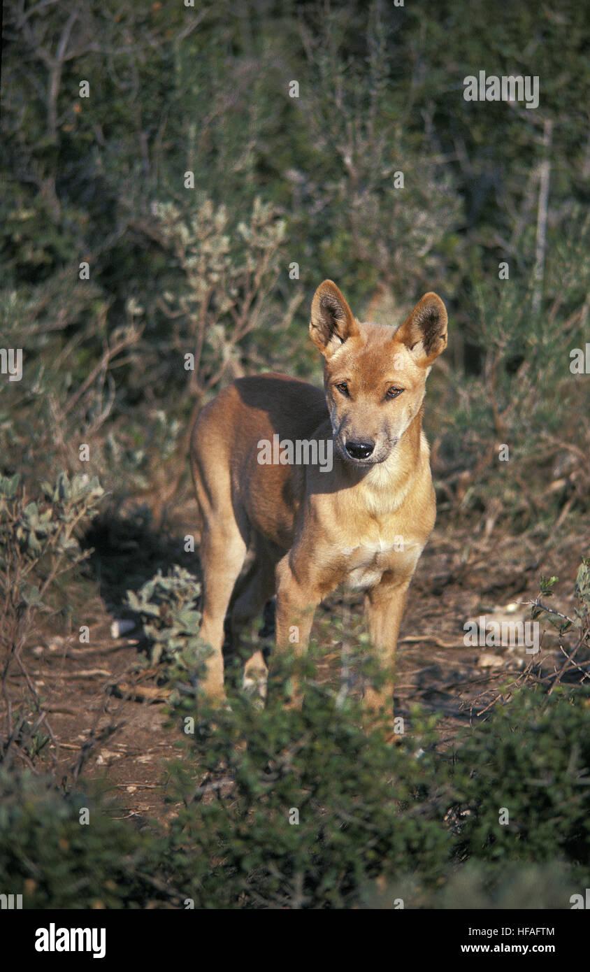 Dingo,  canis familiaris dingo, Australia - Stock Image