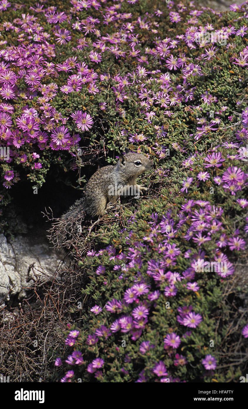 Eastern Gray Squirrel,   sciurus carolinensis, California - Stock Image