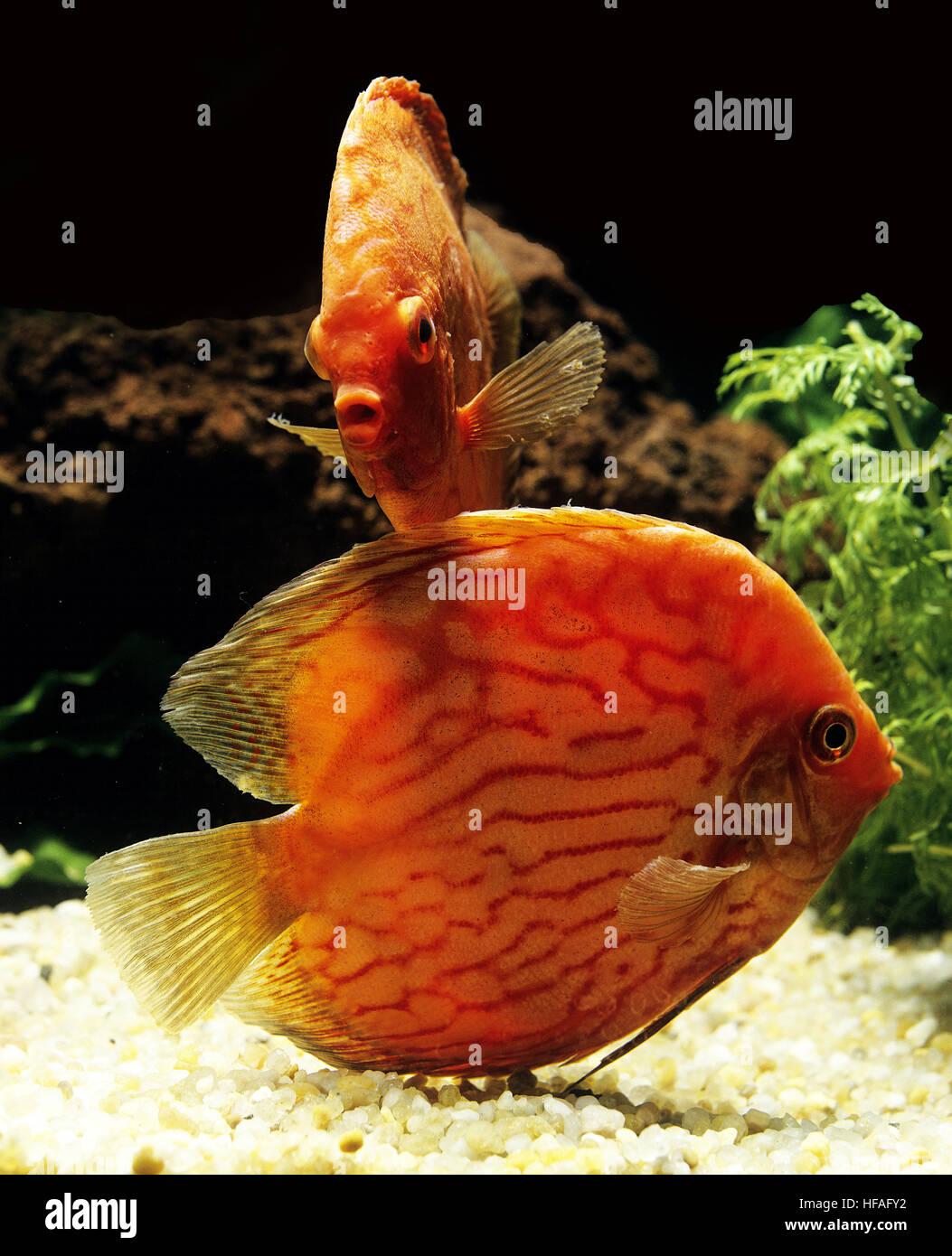 Pigeon Blood Discus Fish Stock Photos & Pigeon Blood Discus Fish ...