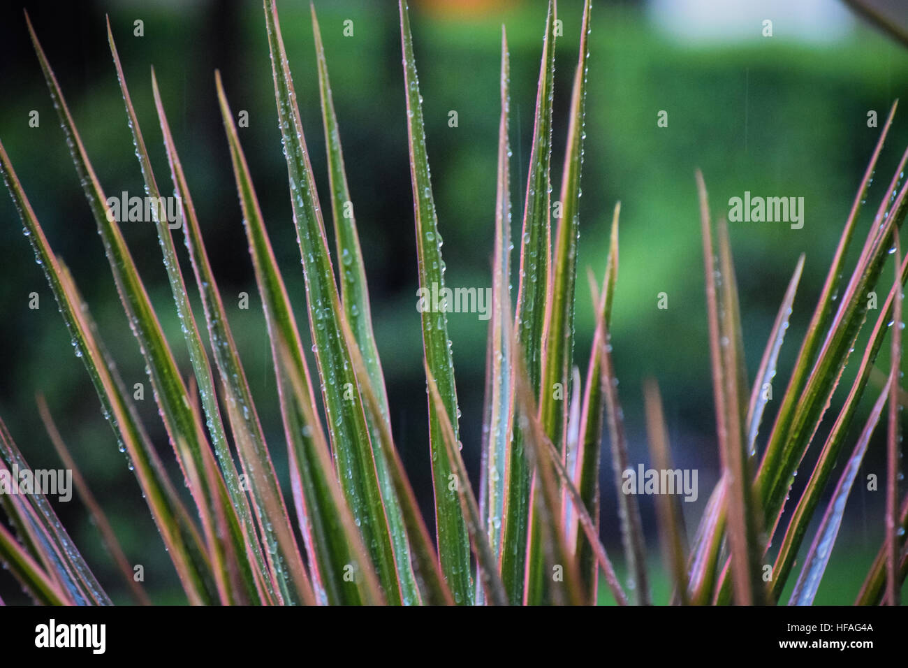 Tropical plants in a rainstorm - Stock Image