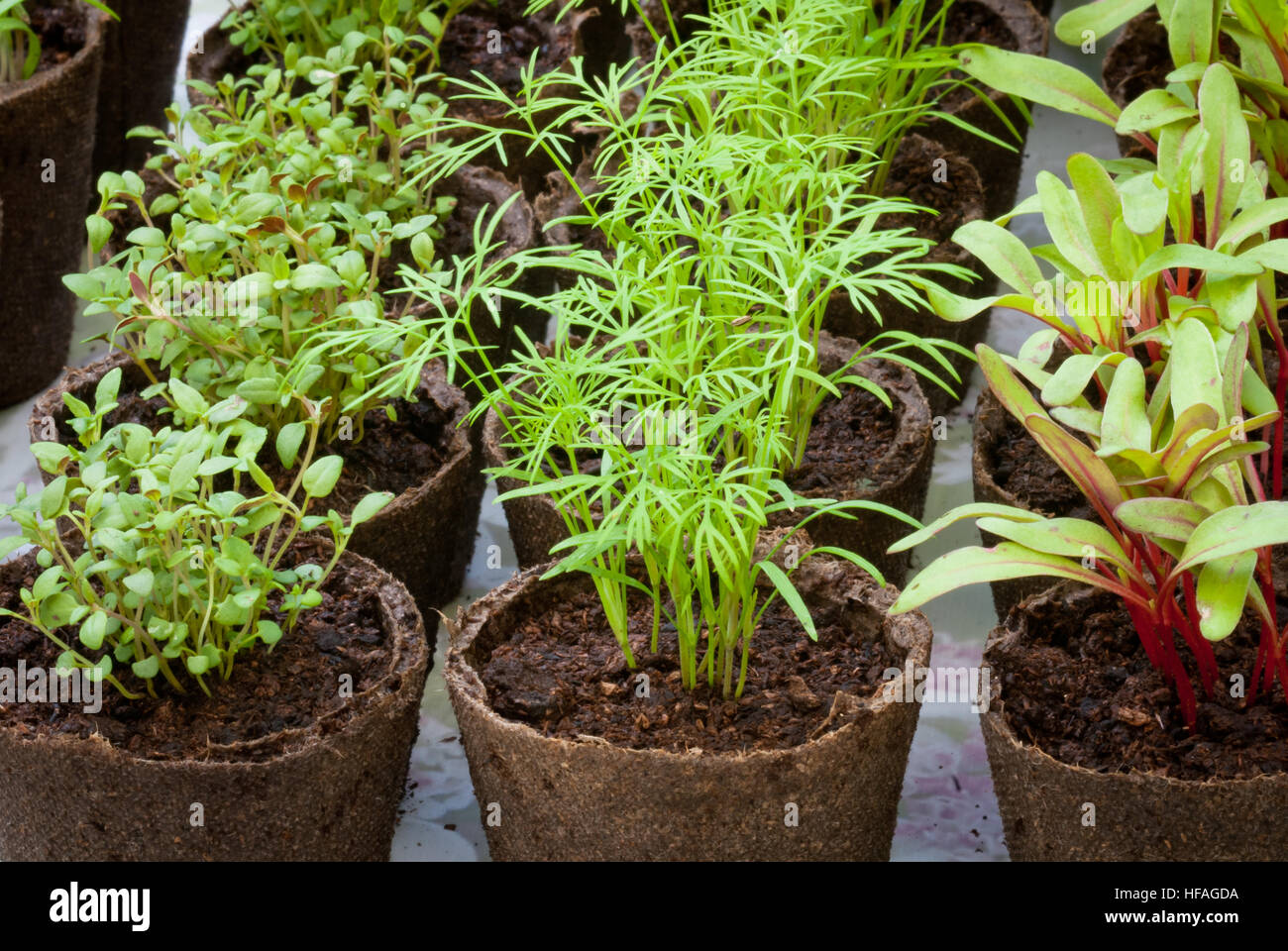 Herb & vegetable seedlings in peat pots, thyme, chard, dill, started from seeds - Stock Image