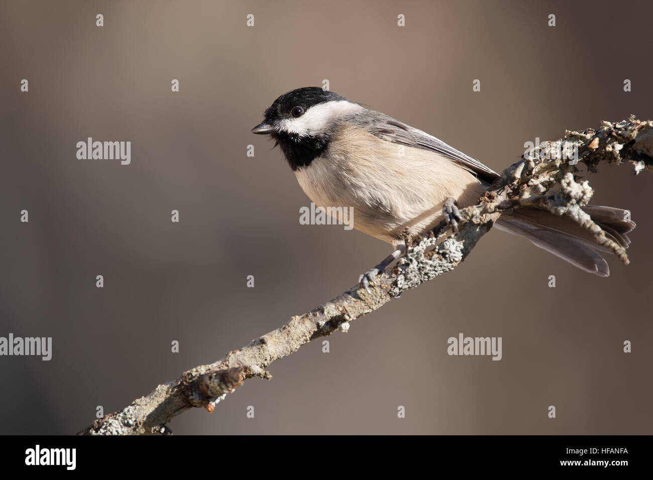 A Carolina chickadee perched on a branch. - Stock Image
