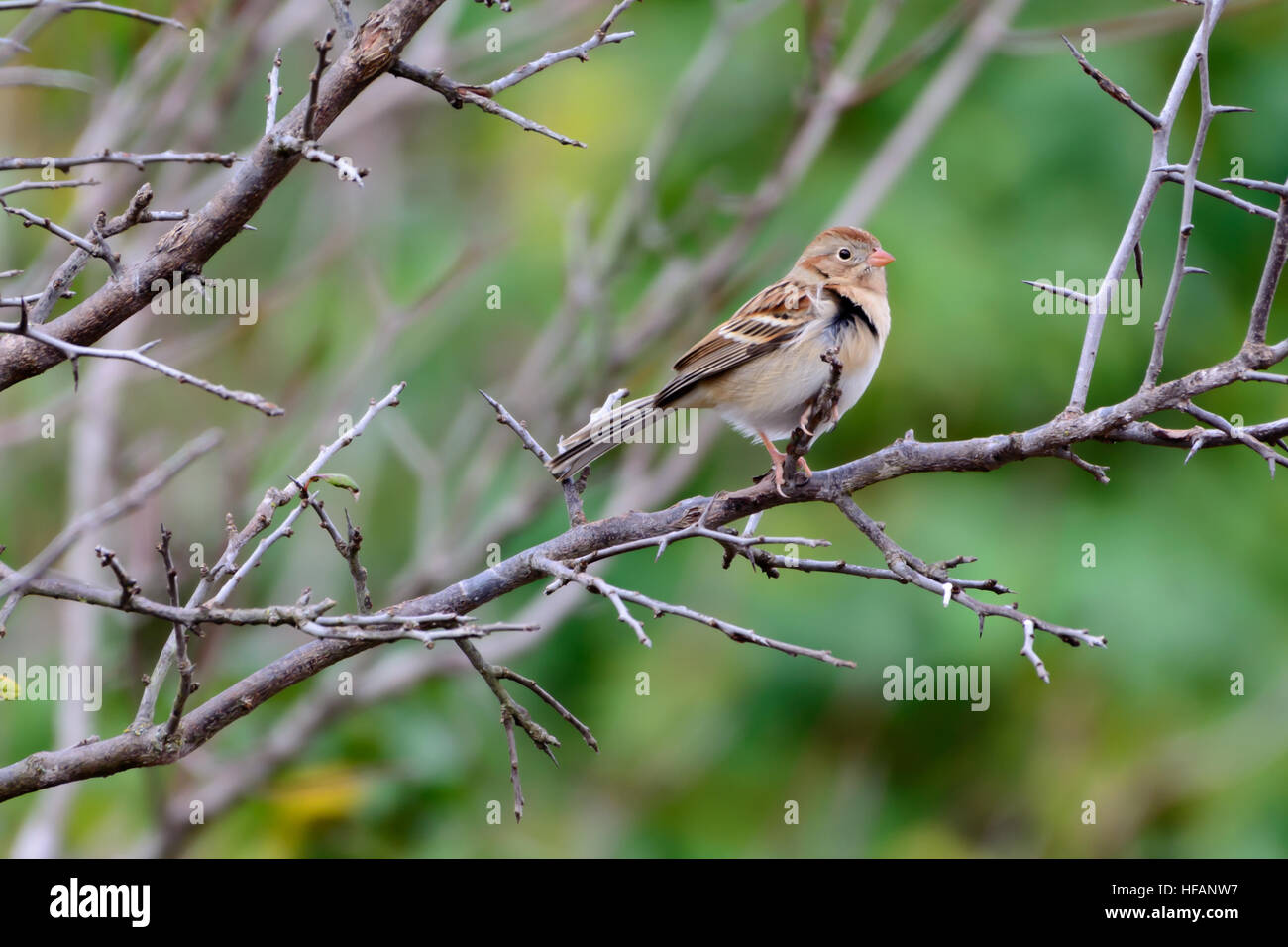 Field Sparrow (Spizella pusilla) perched on a bare branch with blurred green foliage background - Stock Image