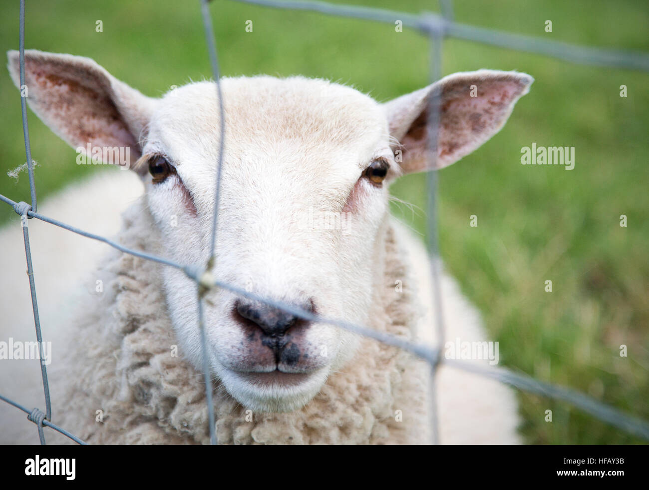 A single sheep behind a a fence - Stock Image
