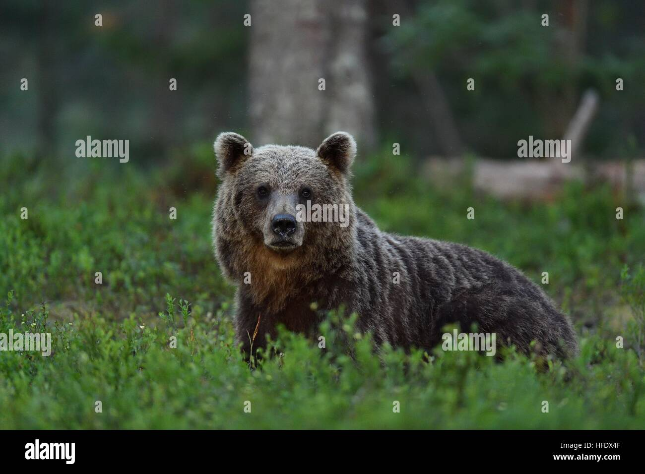 brown bear in forest at night. bear glance. wild animal. animal at night. - Stock Image