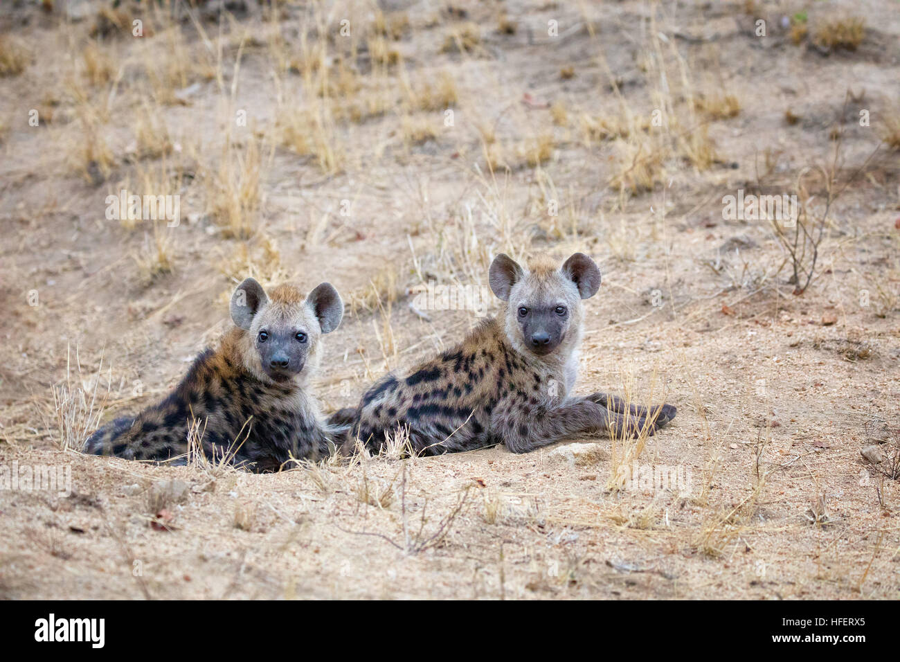 To young spotted hyena cubs emerge from their den. Kruger National Park, South Africa. - Stock Image