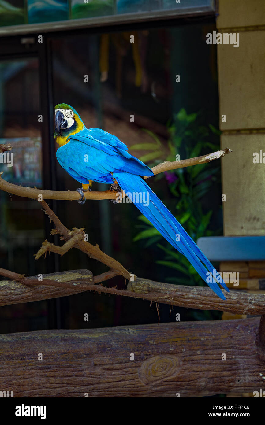 Blue and Yellow macaw, Ara ararauna, perched on a branch in a zoo in the Philippines. - Stock Image