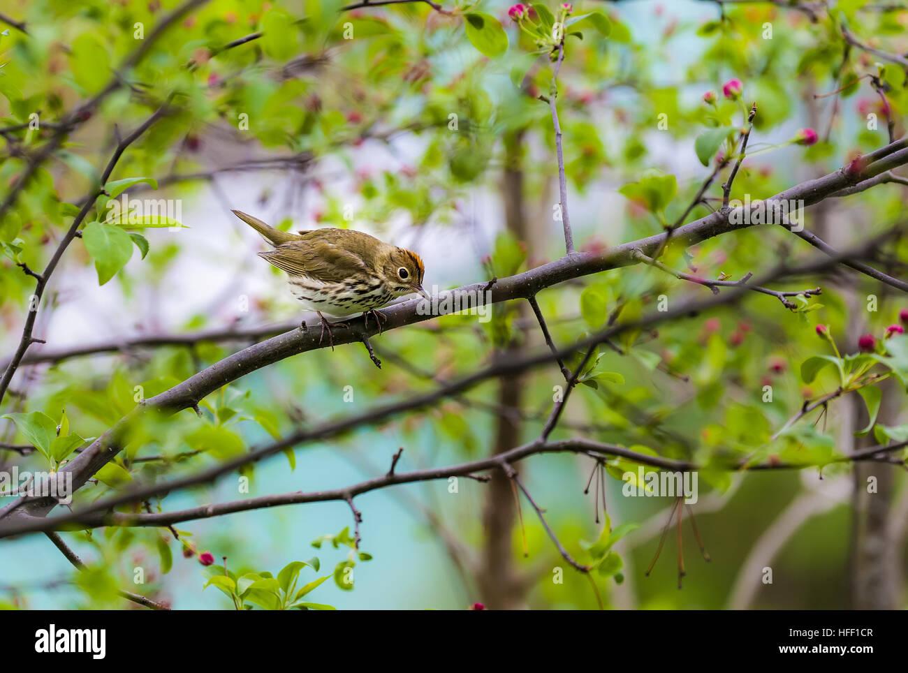 The Ovenbird, Seiurus aurocapilla, is a migratory songbird in the warbler family. Stock Photo