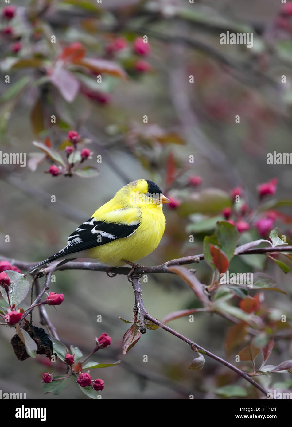 Adult, male American Goldfinch, Spinus tristis, state bird of New Jersey, USA. - Stock Image