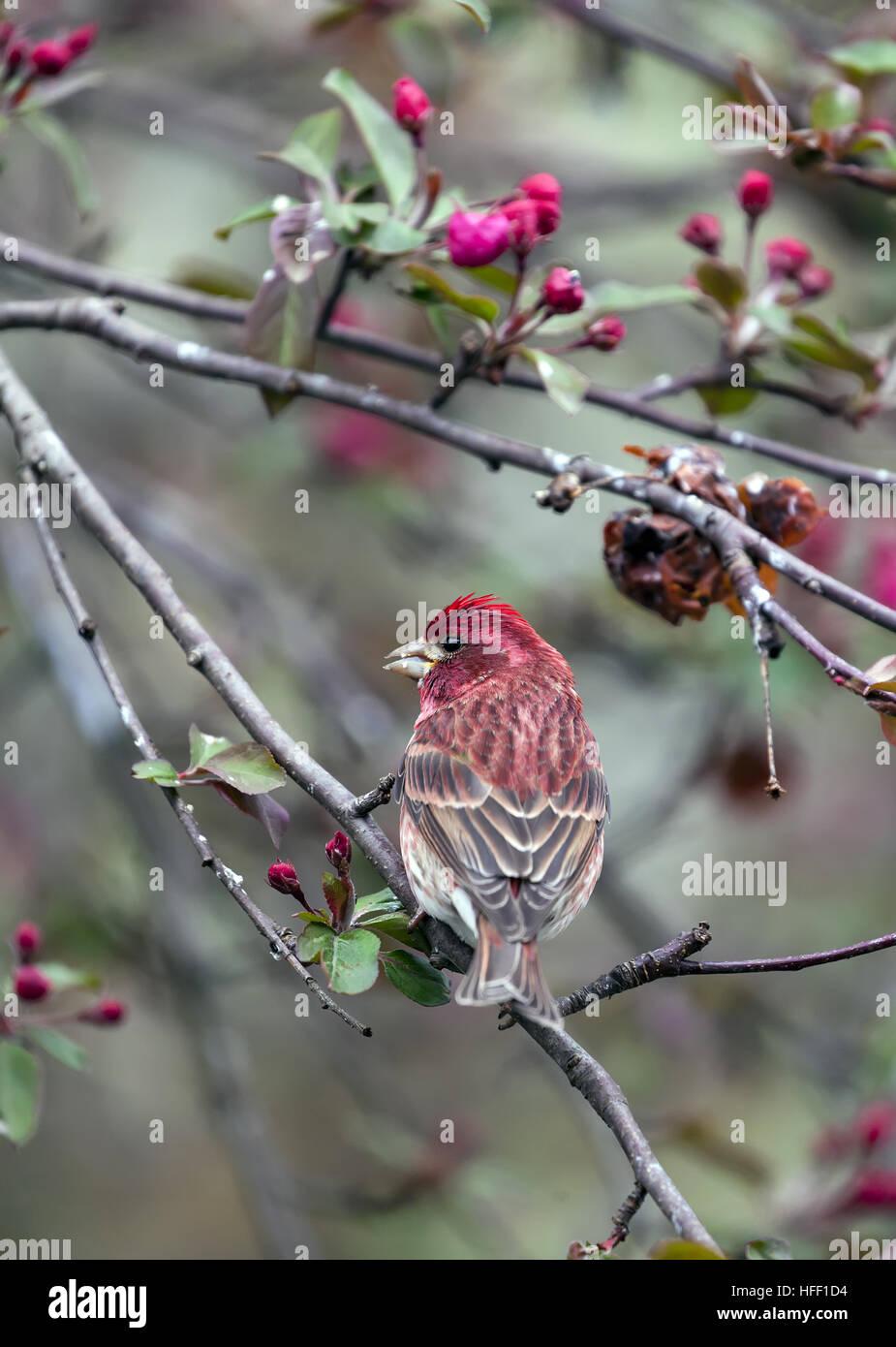 Purple Finch, Haemorhous purpureus, is the state bird of New Hampshire, USA. - Stock Image