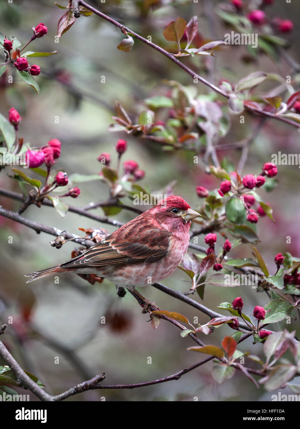 Male Purple Finch perching in an apple tree in New England, USA. - Stock Image