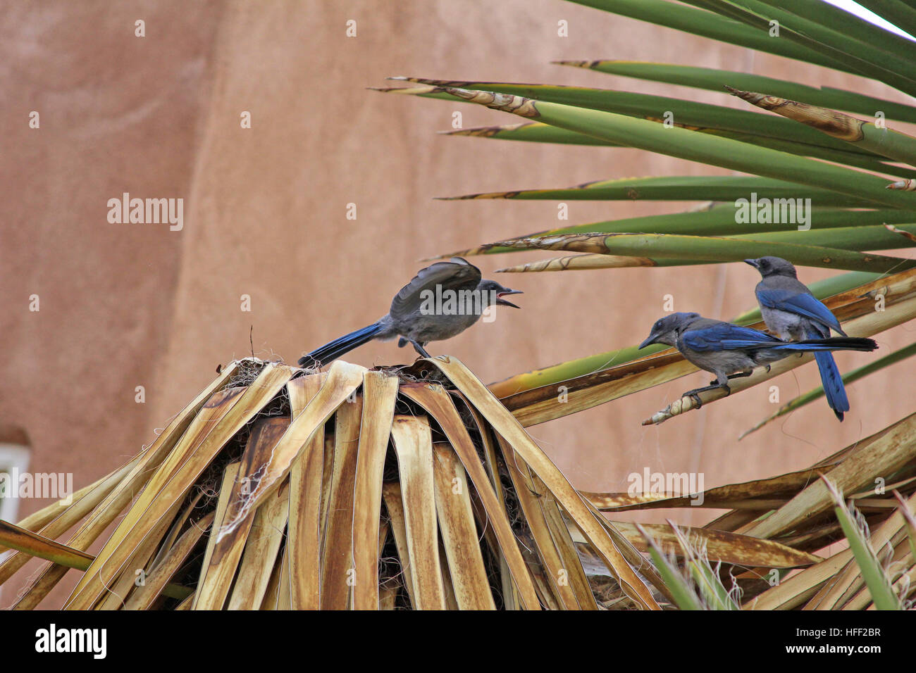 Pinyon Jay defending his territory with an aggressive display Stock Photo