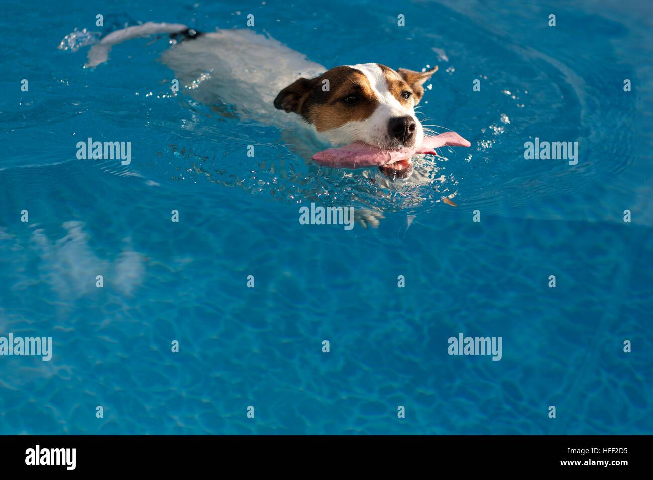 Dog swimming in swimming pool carrying a toy fish in her mouth on a ...