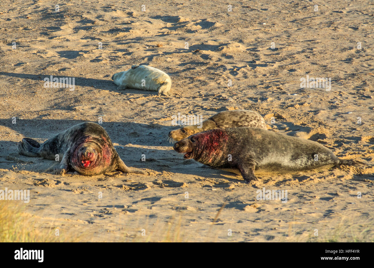Grey seals at Horsey Beach breeding colony in Norfolk, UK, after a fight between two males - Stock Image