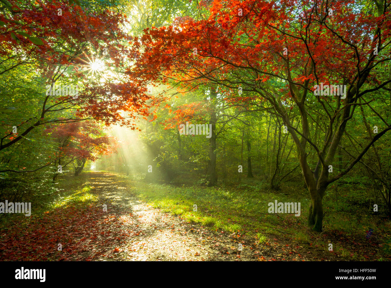 Acer Trees Stock Photos & Acer Trees Stock Images - Alamy